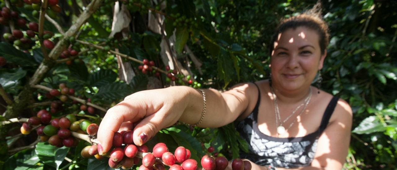 Marlene Talavera, socia Prodecoop, mentre raccoglie caffè