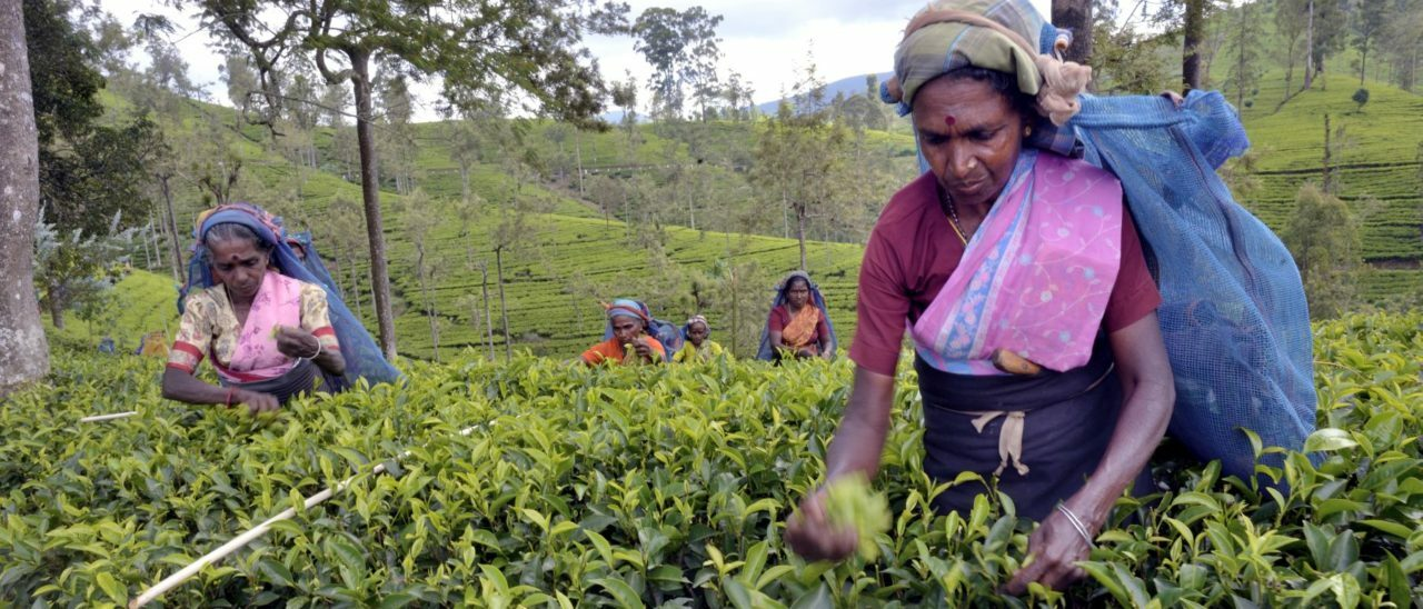 tea fairtrade raccolta