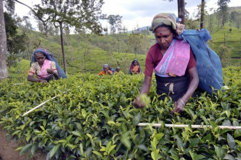 tea fairtrade raccolta
