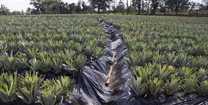 Coltivazione di ananas biologico in Costa Rica, coop. Agronorte