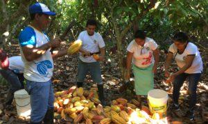 Raccolta del cacao nella comunità di Shepte