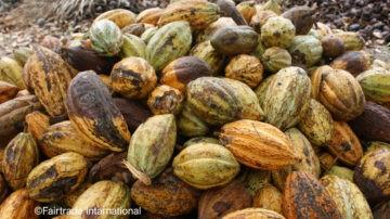 cabosse di cacao