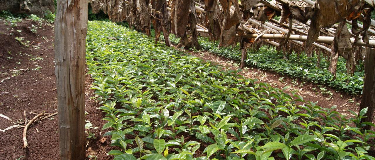 Vivaio di caffè della cooperativa Oromia, in Ethiopia