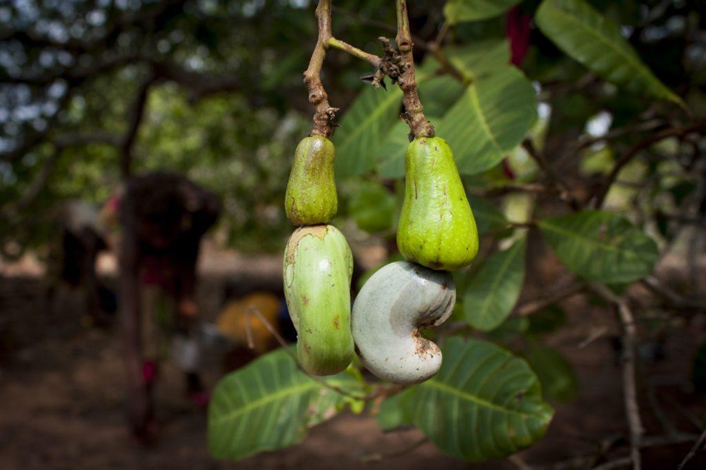 Il frutto dell'anacardo prima della raccolta