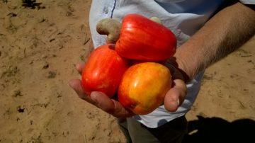 Il frutto dell'anacardo