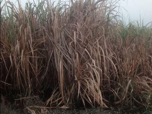 Canna da zucchero rovinata dalla recente alluvione