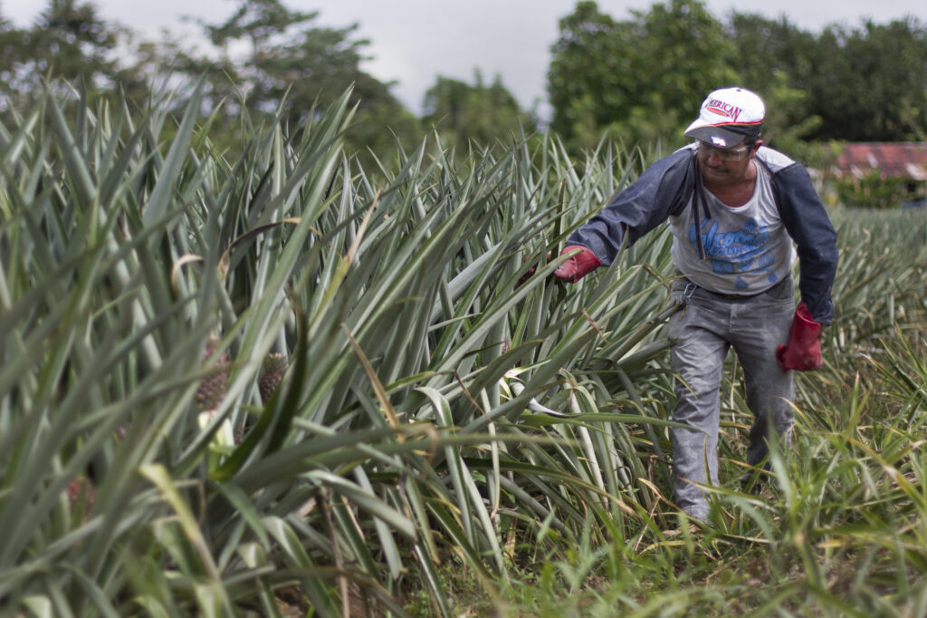 Coltivazione di ananas per Agronorte