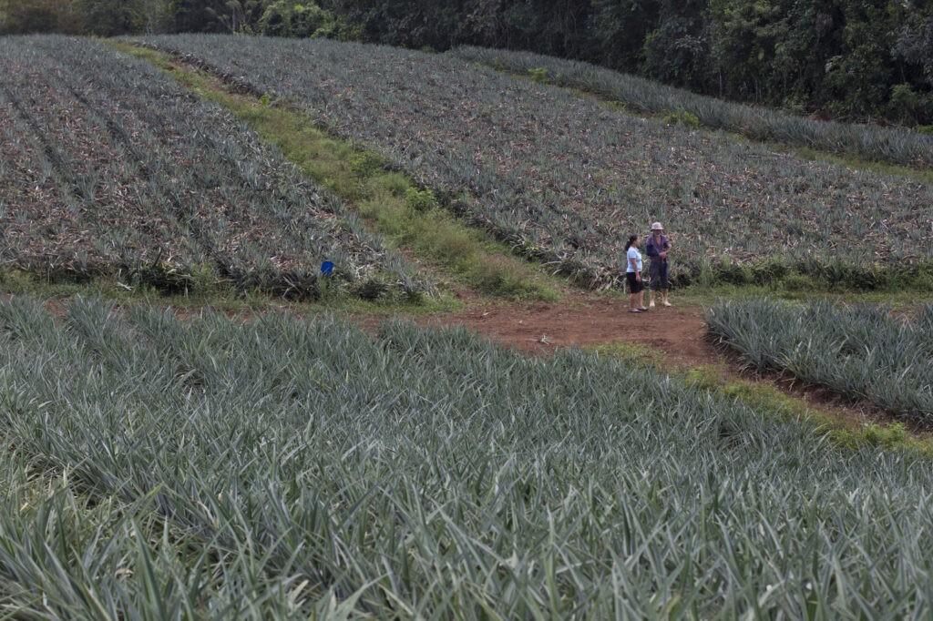 Il campo di ananas di uno dei soci di Agronorte