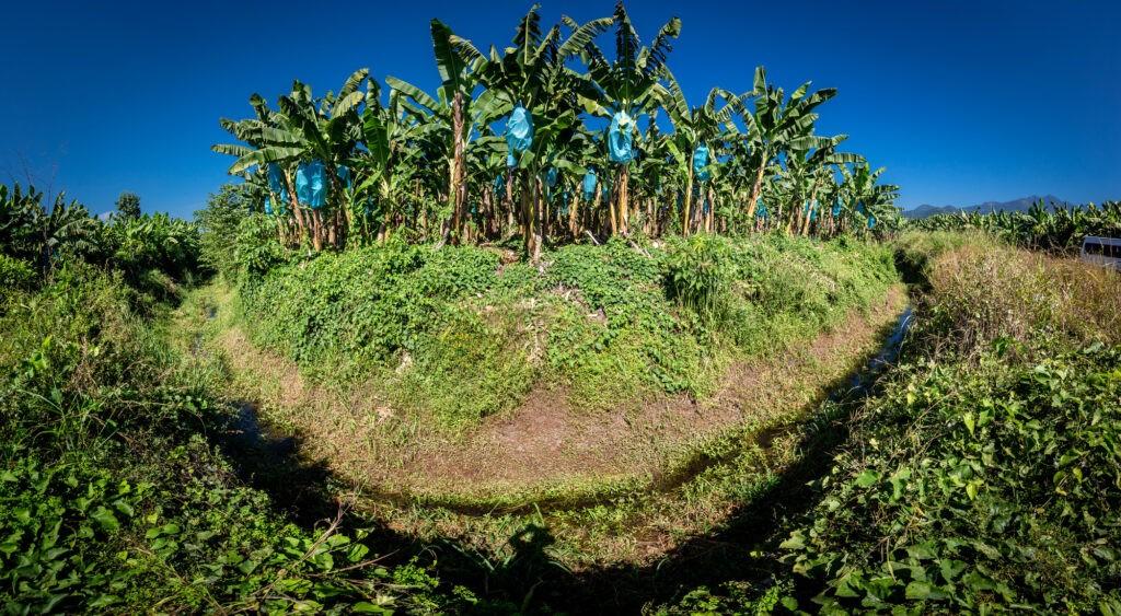 Fossato per la prevenzione della TR4 che sta minacciando le coltivazioni di banane, in Colombia.