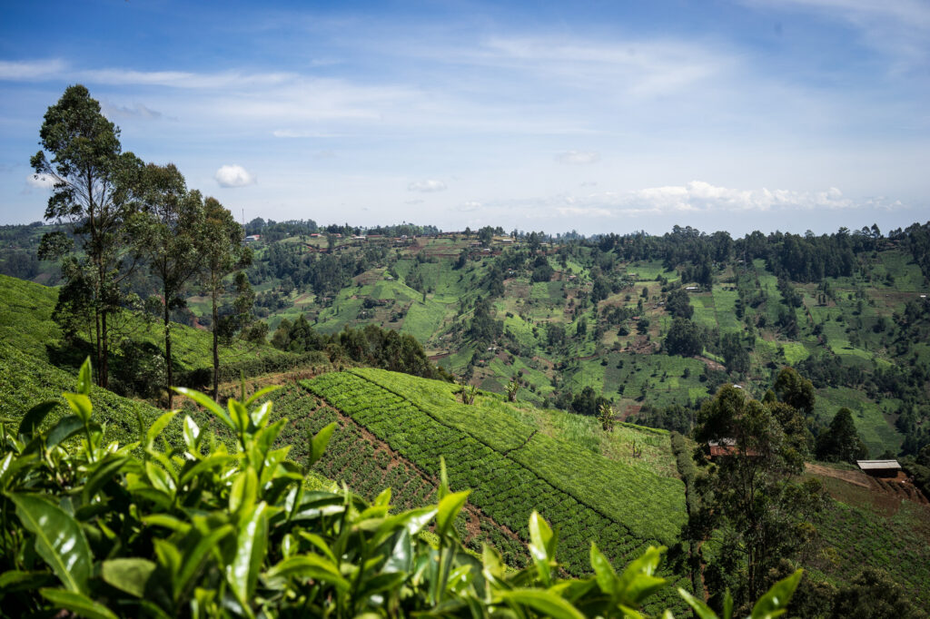 Piantagioni di tè in Kenya