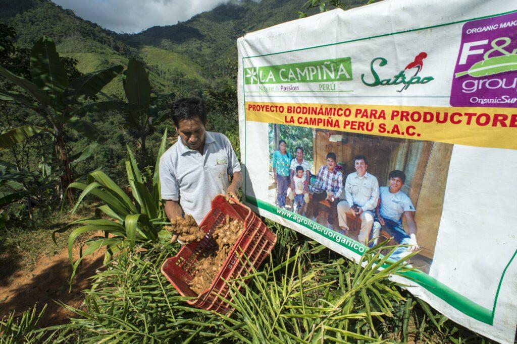 Gabriel Caja Julcarima, socio di La Campiña, mostra le radici di zenzero appena lavate.