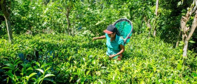 Coltivazione di tè biologico a Sofa (Sri Lanka).