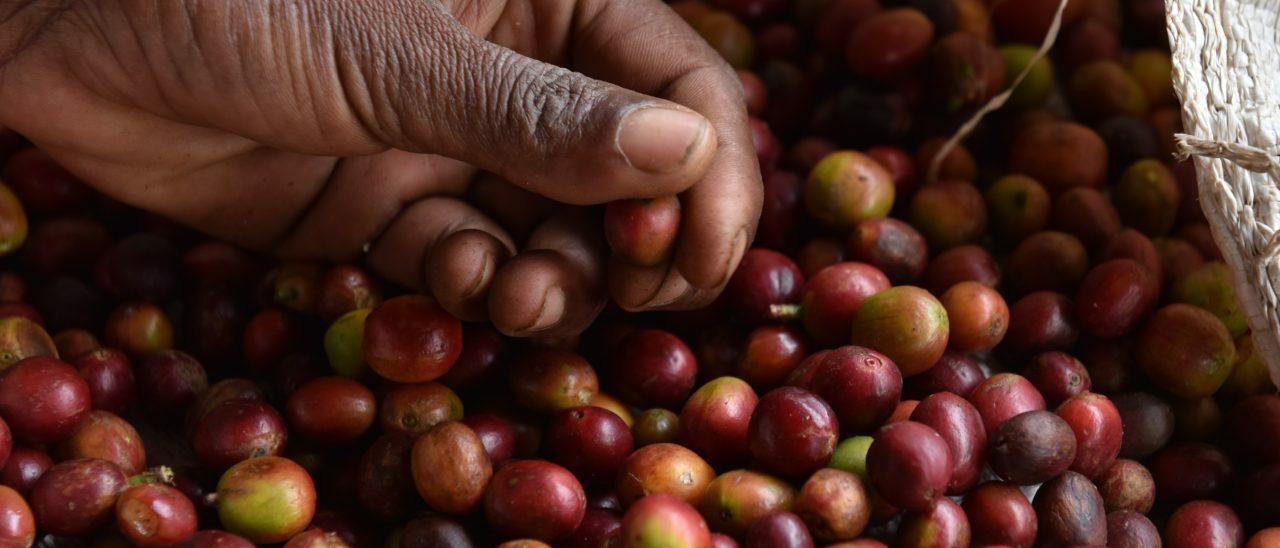 semi di caffè fairtrade