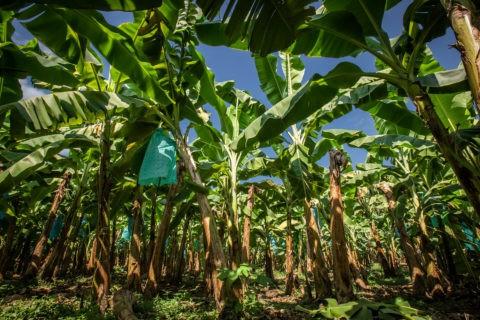 Banani e lotta biologica