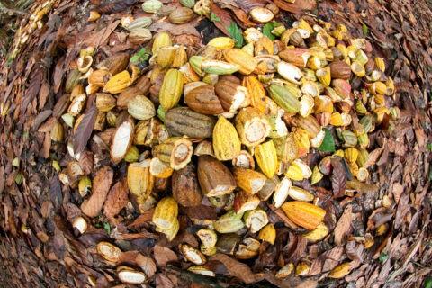 Semi di cacao