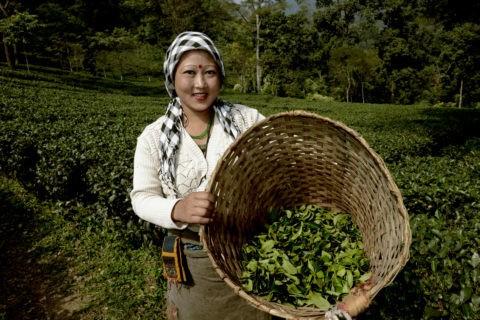 makaibari fairtrade tea