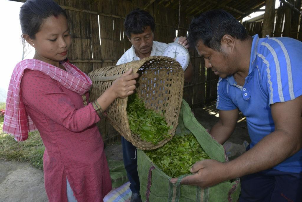 pesatura delle foglie di tè