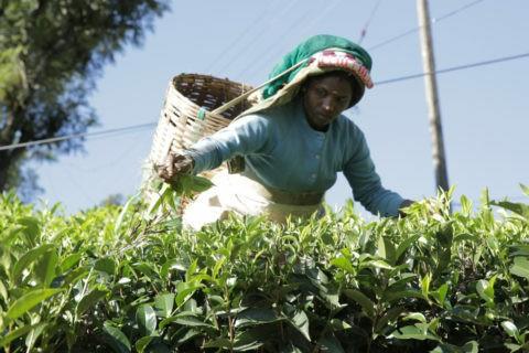 Shanmuga ha 30 anni e da 10 fa la raccoglitrice di tè