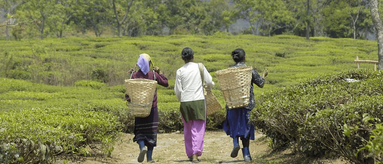 Produttori di tè in una piantagione